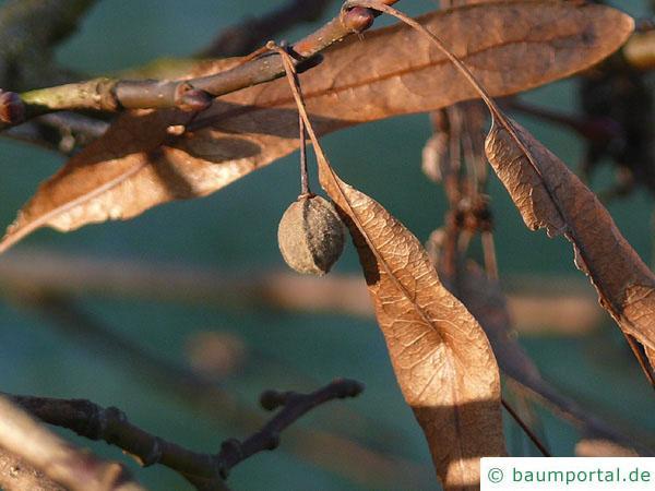 Krim-Linde (Tilia x euchlora) Frucht im Winter