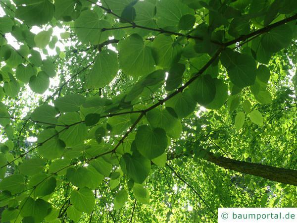 Kuchenbaum (Cercidiphyllum japonicum) Blätter