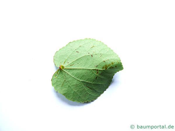 Kuchenbaum (Cercidiphyllum japonicum) Blattunterseite