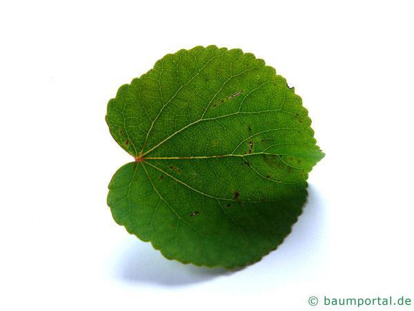 Kuchenbaum (Cercidiphyllum japonicum) Blatt