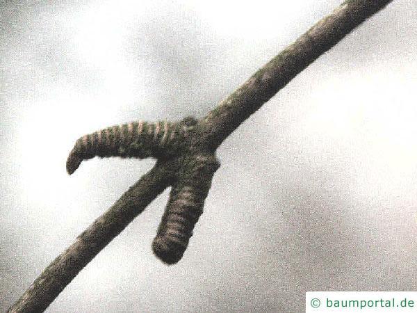 Kuchenbaum (Cercidiphyllum japonicum) Seitenknospe