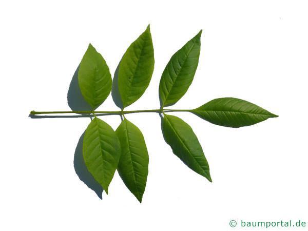 Kürbis-Esche (Fraxinus profunda) Blatt
