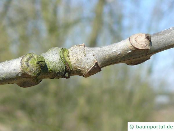 Kürbis-Esche (Fraxinus profunda) Blattnarben