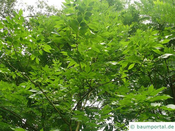 Kürbis-Esche (Fraxinus profunda) Krone im Sommer
