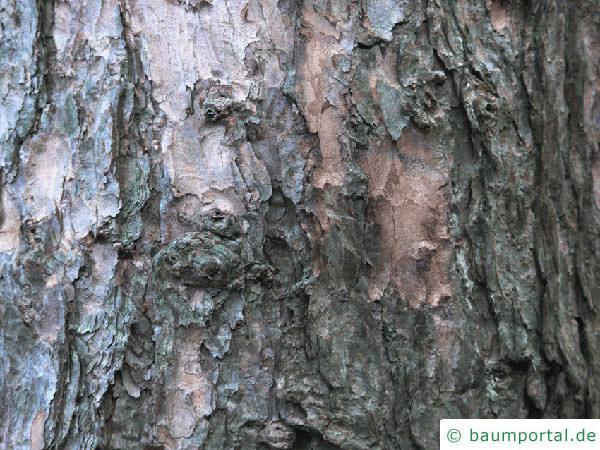 Lärche (Larix decidua) Stamm
