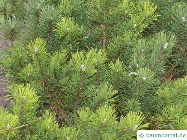 Latschenkiefer (Pinus mugo) Baum