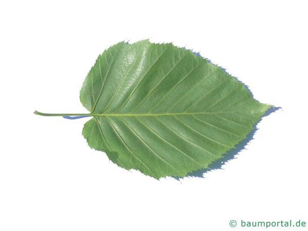 lindenblättrige Birke (Betula maximowicziana) Blatt-Unterseite