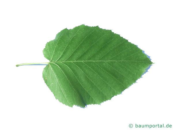 lindenblättrige Birke (Betula maximowicziana) Blatt