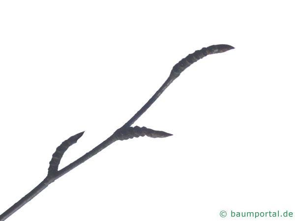 lindenblättrige Birke (Betula maximowicziana) Knospen