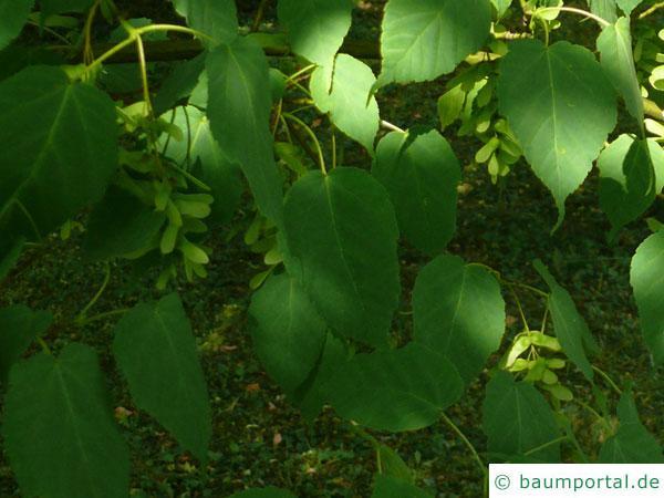 lockerblütiger-ahorn (Acer pectinatum) Blätter