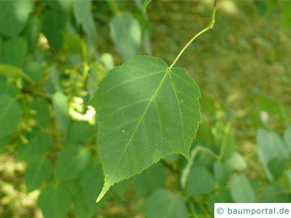 lockerblütiger-ahorn (Acer pectinatum) Blatt mit Stiel