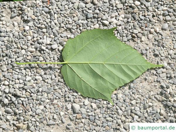 lockerblütiger-ahorn (Acer pectinatum) Blatt-Unterseite