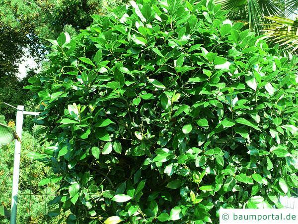 Lorbeerbaum (Laurus nobilis) Baum