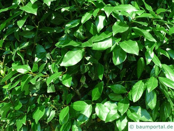 Lorbeerbaum (Laurus nobilis) Blaetter