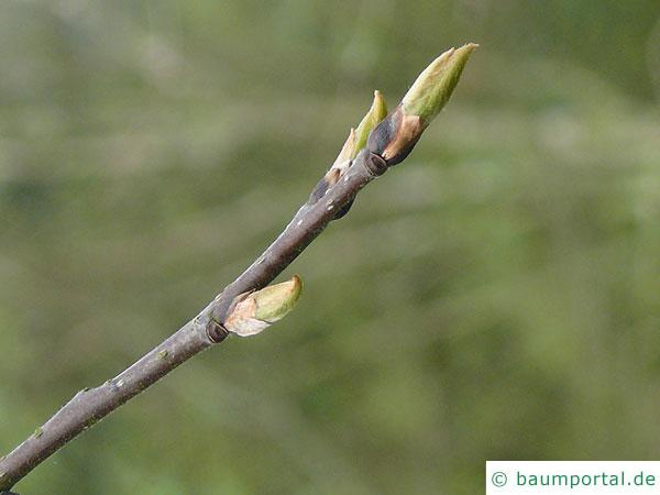 Lotuspflaume (Diospyros lotus) Knospen