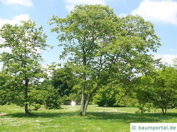 Lotuspflaume (Diospyros lotus) Baum