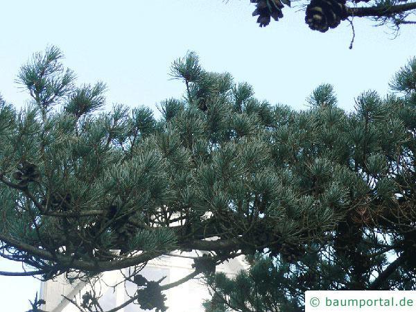 Mädchen-Kiefer (Pinus parviflora) Ast