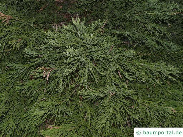 Mammutbaum (Sequoiadendron giganteum)  Zweige