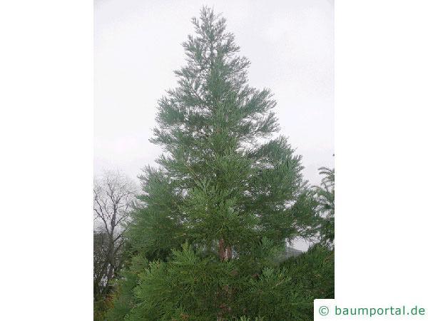 Mammutbaum (Sequoiadendron giganteum)