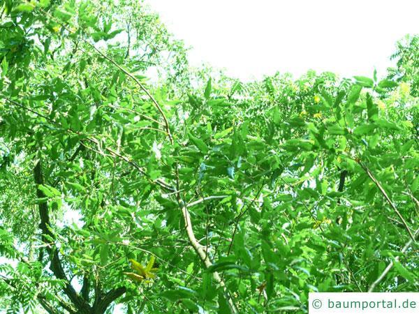 Mazedonische Eiche (Quercus trojana) Krone im Sommer