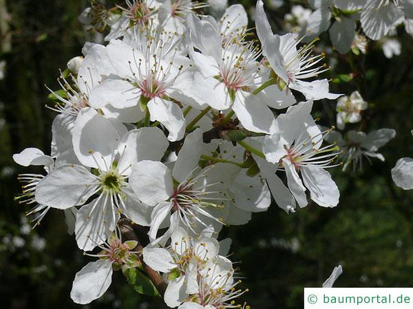 Mirabelle (Prunus domestica subsp. syriaca) Blüte