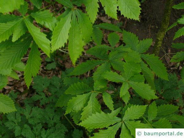 mongolische Eiche (Quercus mongolica) Blätter an Zweigende fas rosettenartig
