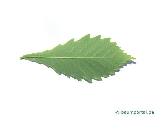 mongolische Eiche (Quercus mongolica) Blattunterseite