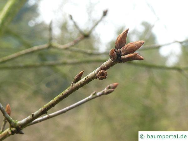 mongolische Eiche (Quercus mongolica) Endknospe kurz vor dem Austrieb