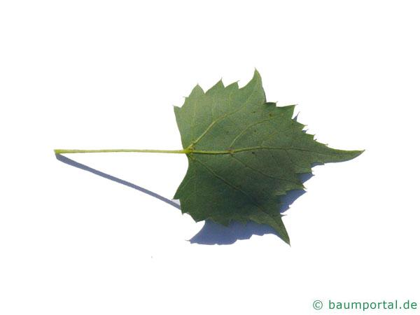 mongolische Linde (Tilia mongolica) Blatt Unterseite