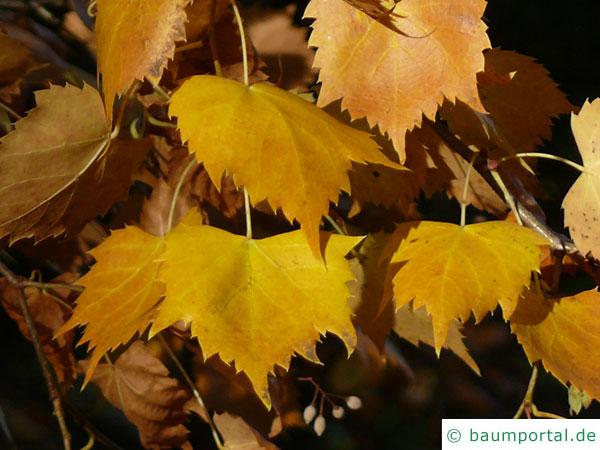 mongolische Linde (Tilia mongolica) gelbe bis orange Herbstfärbung