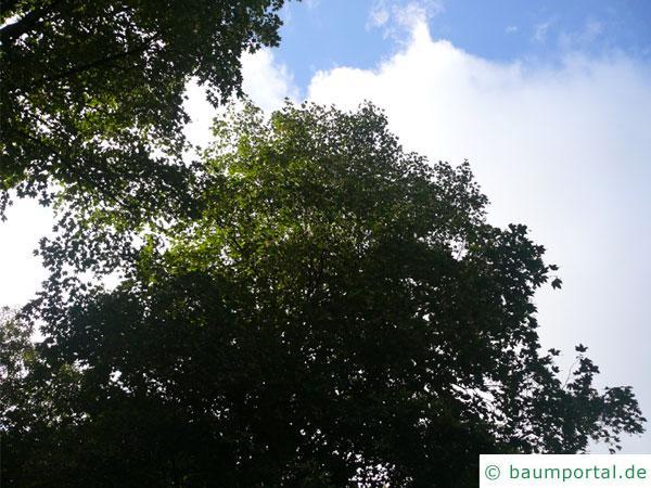 mongolische Linde (Tilia mongolica) Baum im Sommer