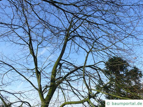 mongolische Linde (Tilia mongolica) Krone im Winter