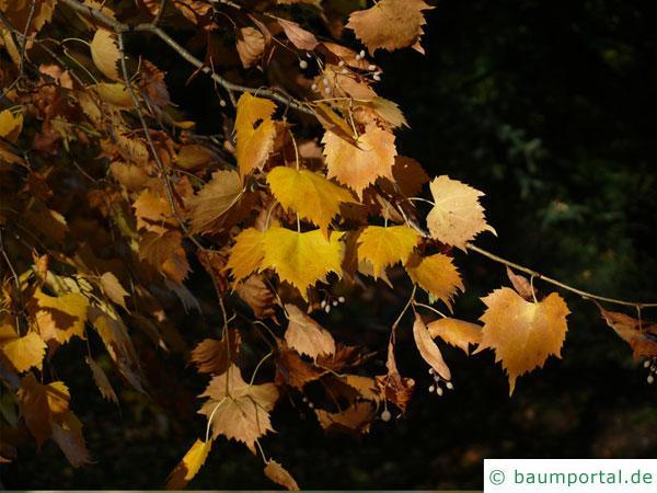 mongolische Linde (Tilia mongolica) Zweige und Blätter im Herbst