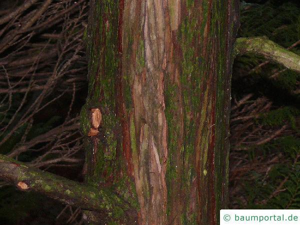 Muschelzypresse (Chamaecyparis obtusa) Stamm