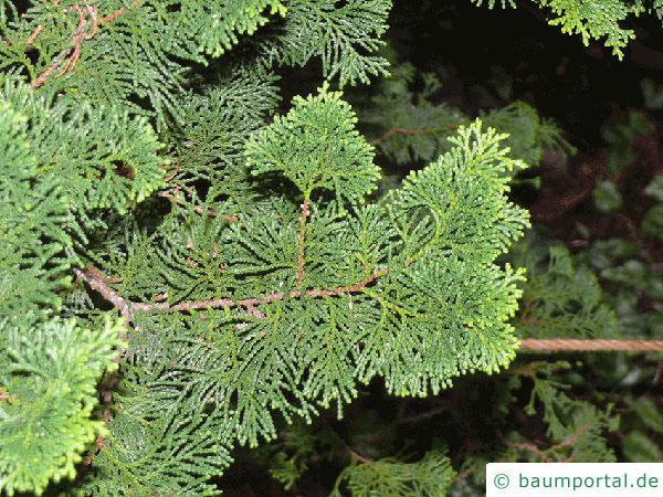 Muschelzypresse (Chamaecyparis obtusa) Zweig