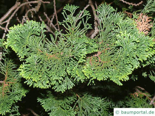 Muschelzypresse (Chamaecyparis obtusa) Zweige