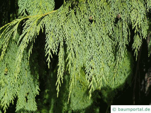 Nutka-Zypresse (Chamaecyparis nootkatensis 'Pendula') Zweig