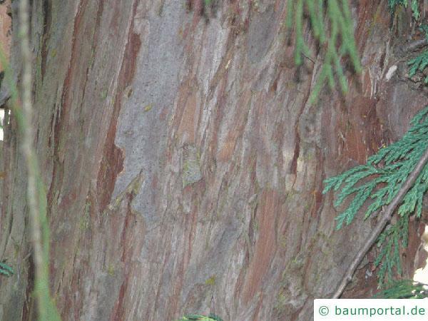 Nutka-Zypresse (Chamaecyparis nootkatensis 'Pendula') Stamm