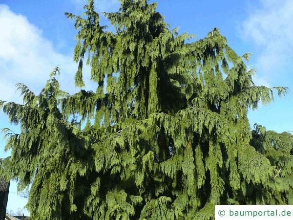 Nutka-Zypresse (Chamaecyparis nootkatensis 'Pendula') Baum