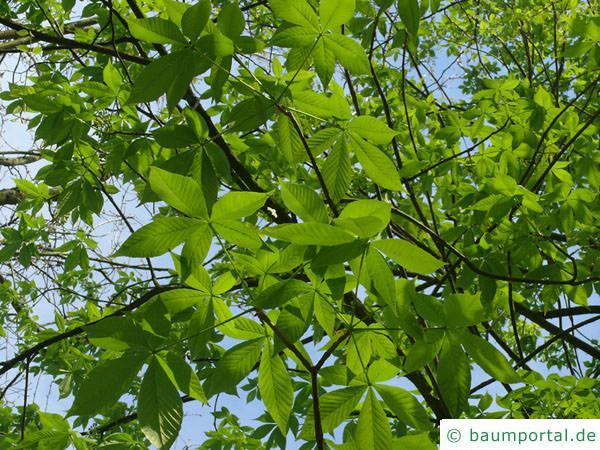 Ohio Kastanie (Aesculus glabra) Blätter