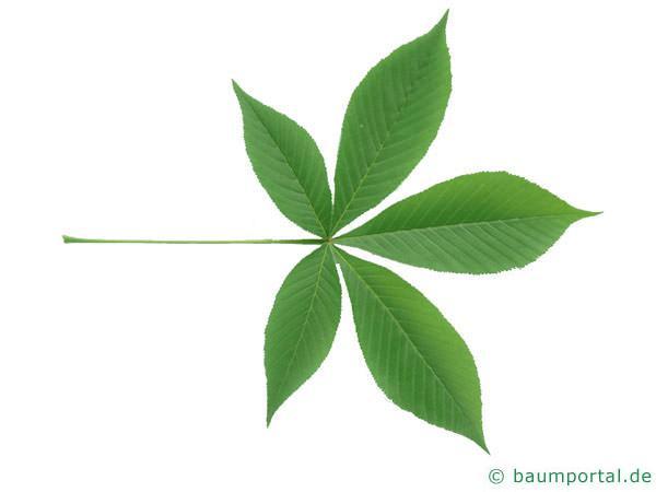 Ohio Kastanie (Aesculus glabra) Blatt