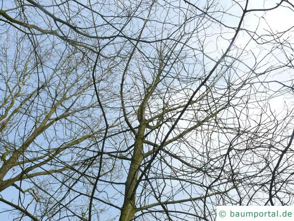 Ohio Kastanie (Aesculus glabra) Krone im Winter