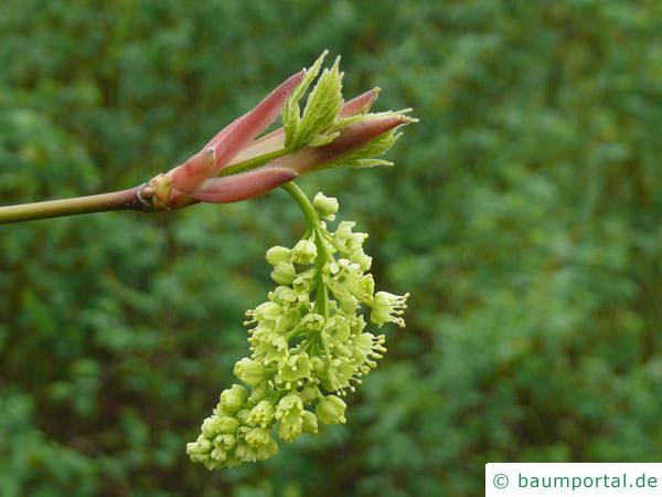 Oregon-Ahorn (Acer macrophyllum) im Austrieb