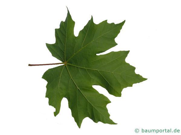 Oregon-Ahorn (Acer macrophyllum) Blattrückseite