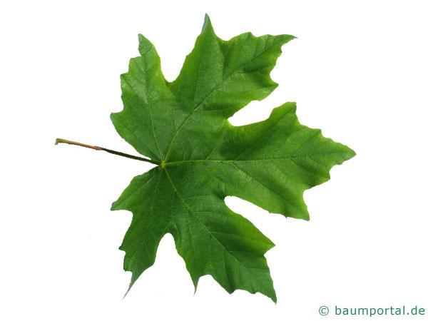 Oregon-Ahorn (Acer macrophyllum) Blatt