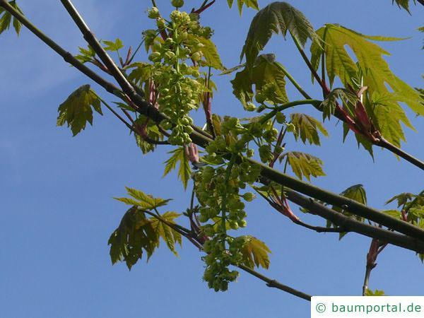 Oregon-Ahorn (Acer macrophyllum) Blüten