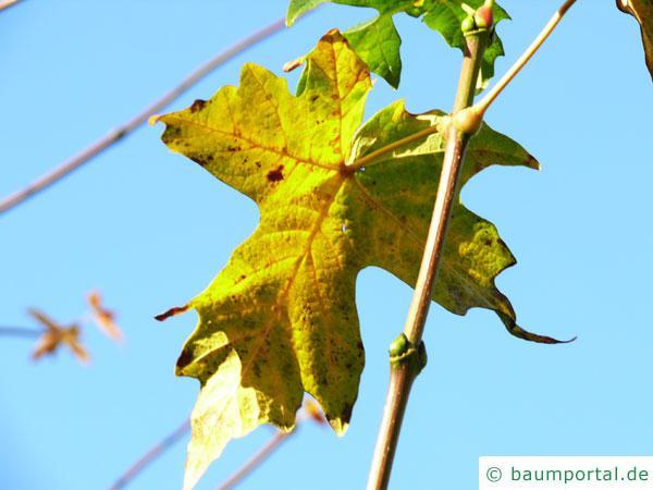 Oregon-Ahorn (Acer macrophyllum) Herbstfärbung