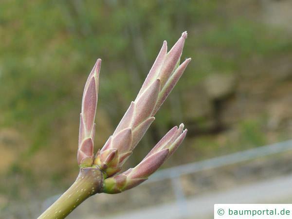 Oregon-Ahorn (Acer macrophyllum) Knospen im April