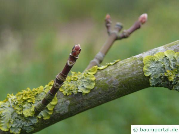 Oregon-Ahorn (Acer macrophyllum) Seitenknospen