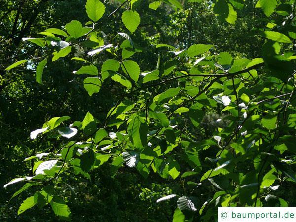 Rot-Erle (Alnus rubra) Blätter